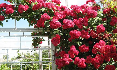 Плетистая крупноцветковая роза
