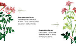 Схема обрезки розы
