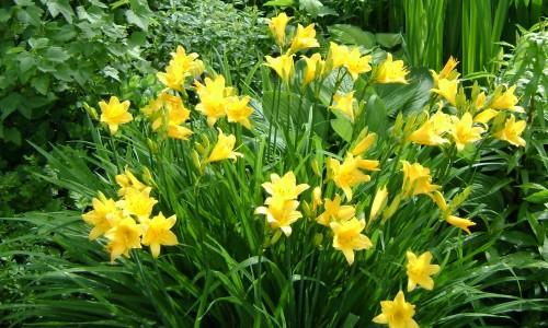 Цветущие лилейники