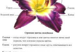 Строение цветка лилейника