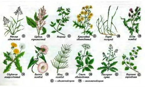Распространенные виды сорняков