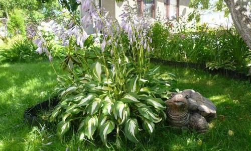 Хосты - растительная элегантность